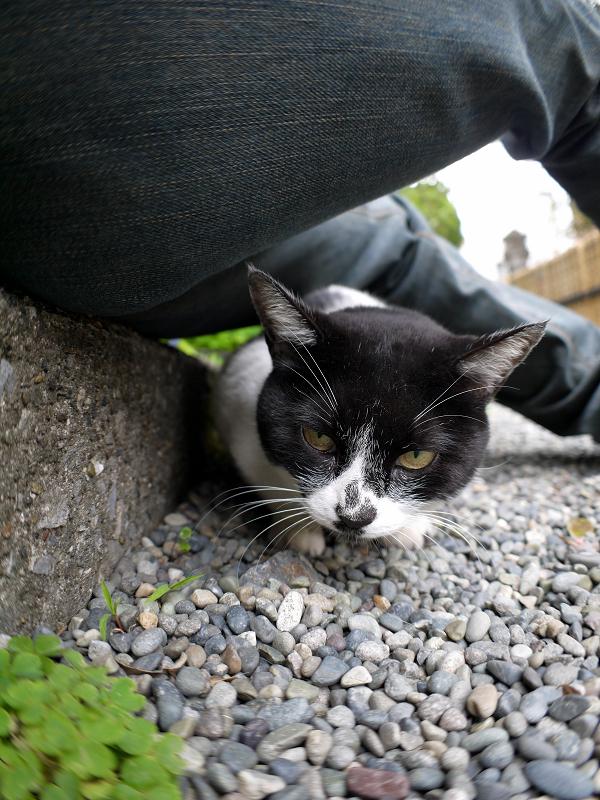 腿の下に潜り込む白黒猫1