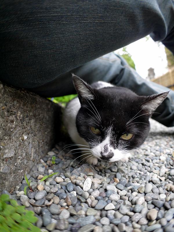 腿の下に潜り込む白黒猫2