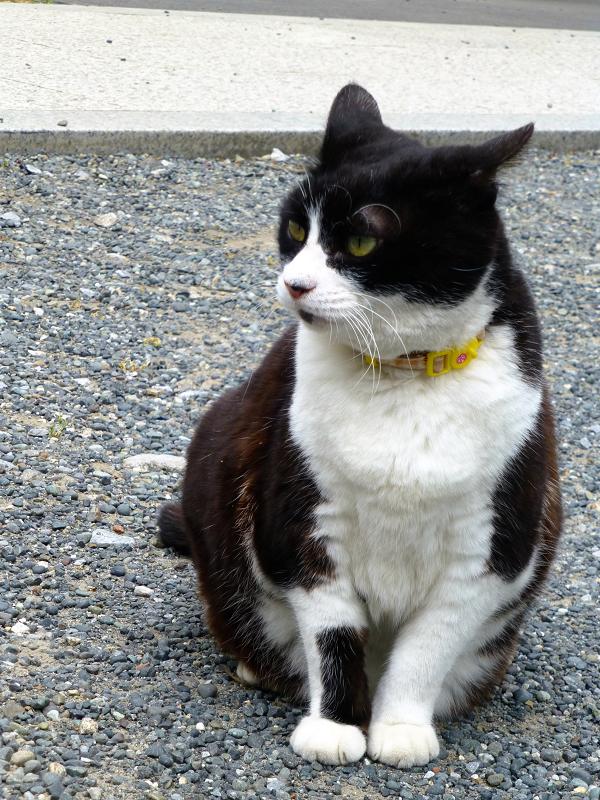 境内で耳が水平な黒白猫3