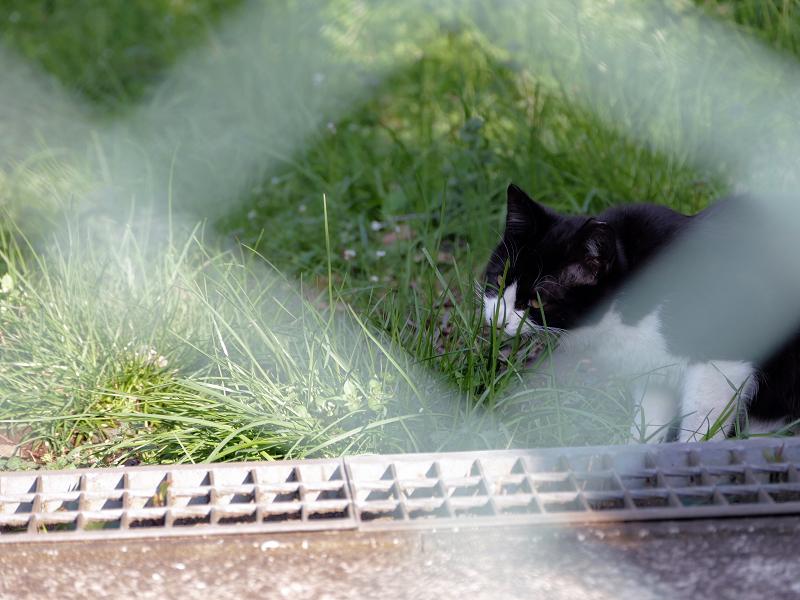 金網の向こうの黒白猫1