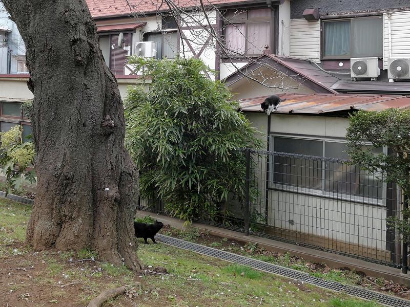 屋根からフェンスへ飛ぶ黒白猫1