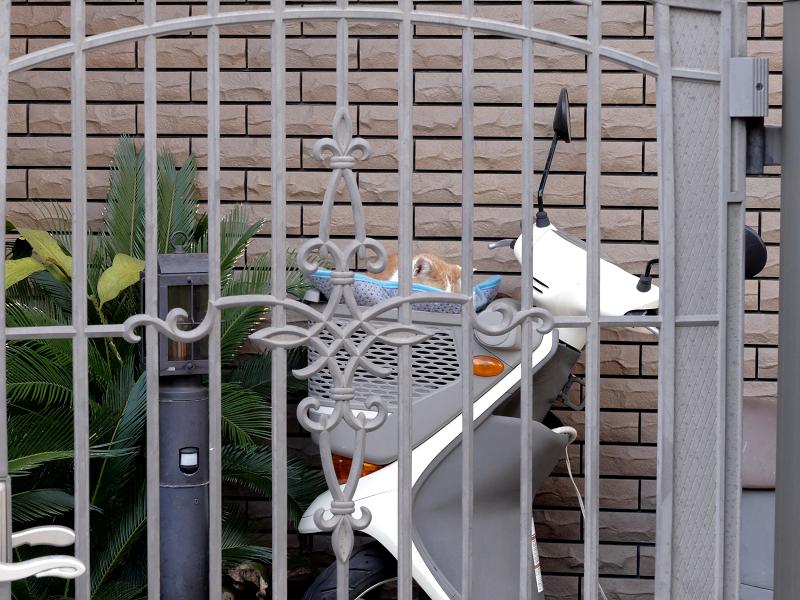 スクターの籠の茶白猫1