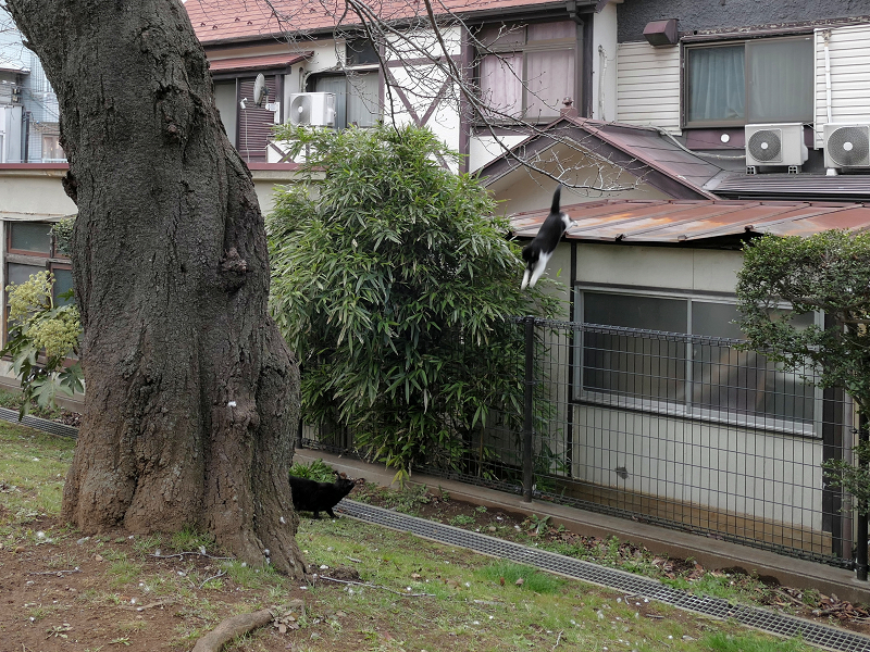 屋根からフェンスへ飛ぶ黒白猫2