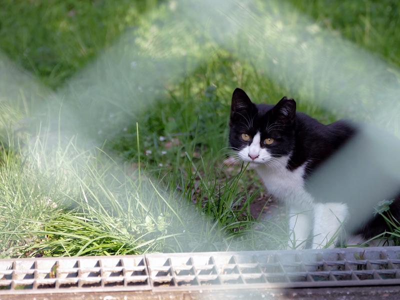 金網の向こうの黒白猫3