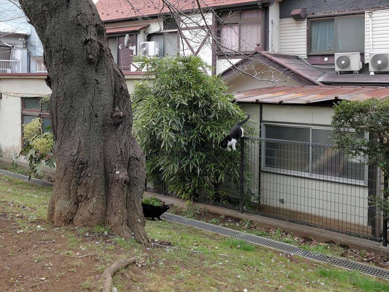 屋根からフェンスへ飛ぶ黒白猫3