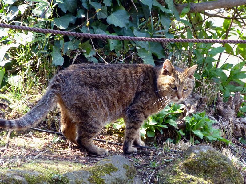 橋を渡ろうとしてるキジトラ猫1