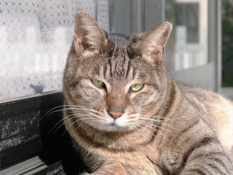 社務所御影石のキジトラ猫2
