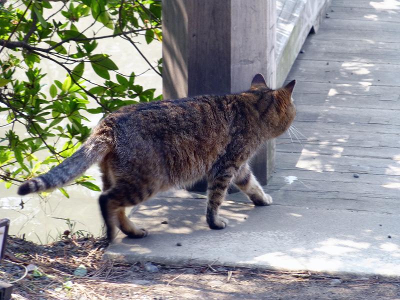 橋を渡ろうとしてるキジトラ猫2