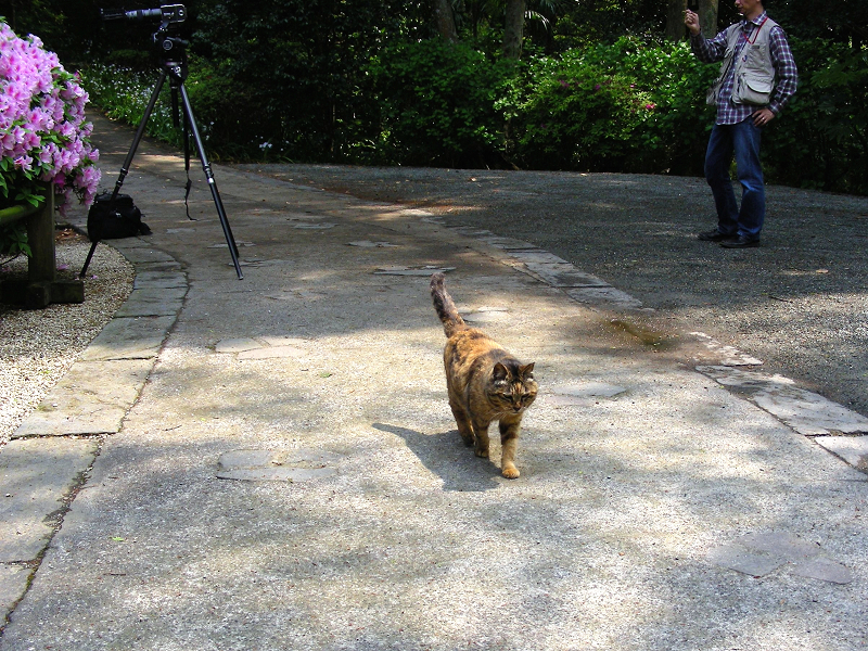 歩いて来て膝に乗るサビ柄猫1