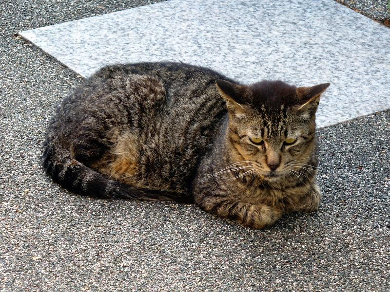 御影石と香箱キジトラ猫