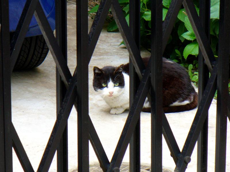 アコーディオン門扉の黒白猫1