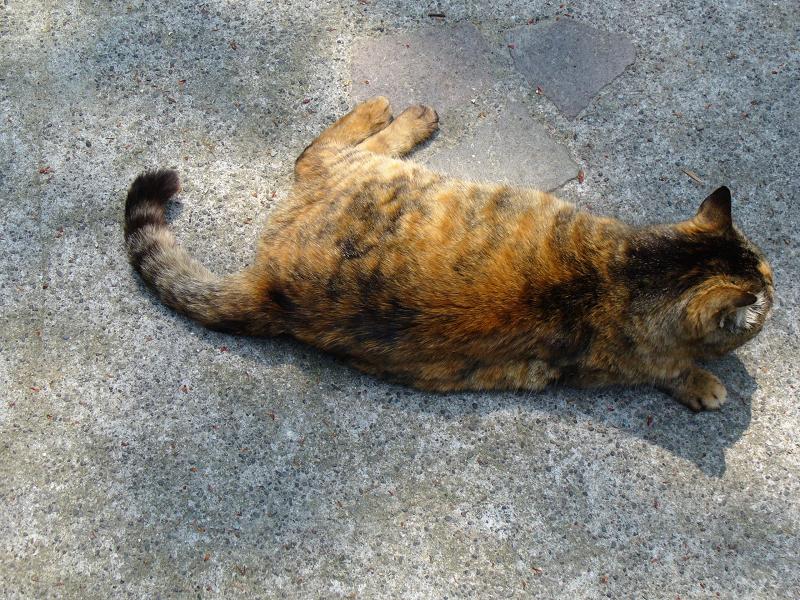 歩いて来て膝に乗るサビ柄猫2