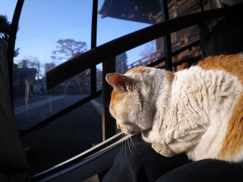 膝に乗って陽射しを浴びてる白茶猫1