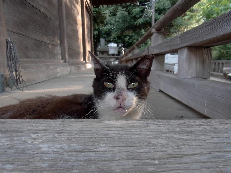 濡れ縁から顔を出す黒白猫1