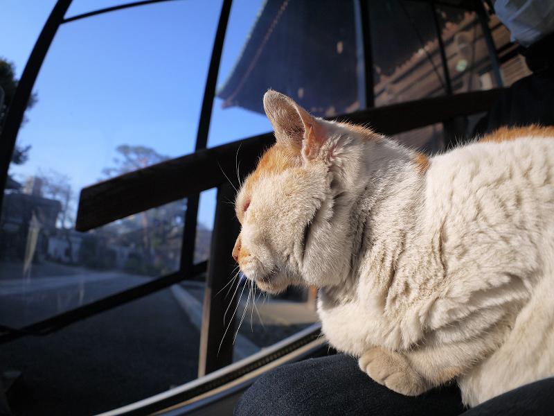 膝に乗って陽射しを浴びてる白茶猫2