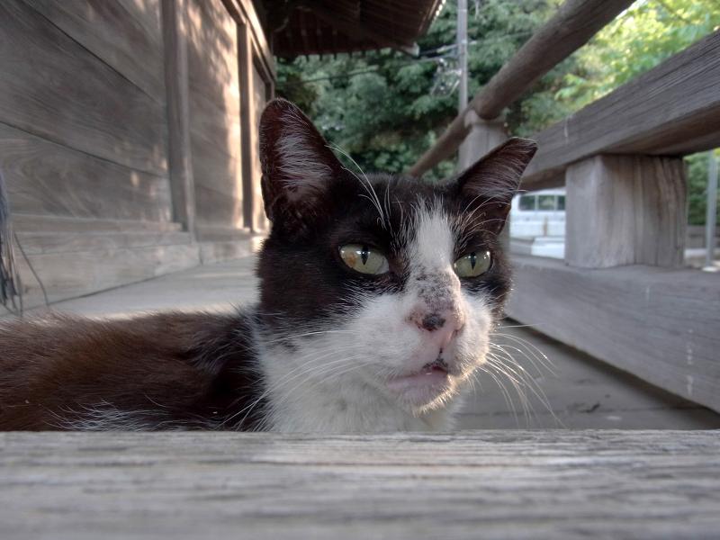 濡れ縁から顔を出す黒白猫2