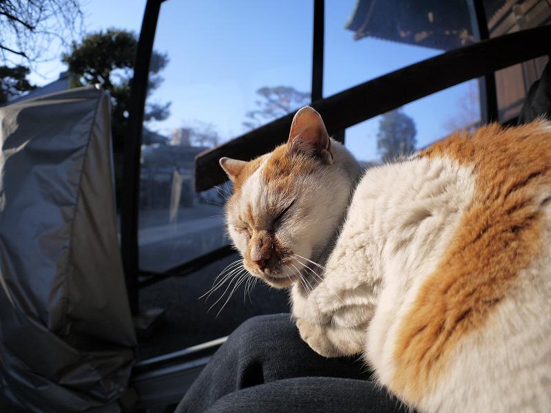 膝に乗って陽射しを浴びてる白茶猫3