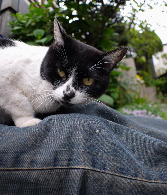 膝の上で寝てしまう白黒猫1