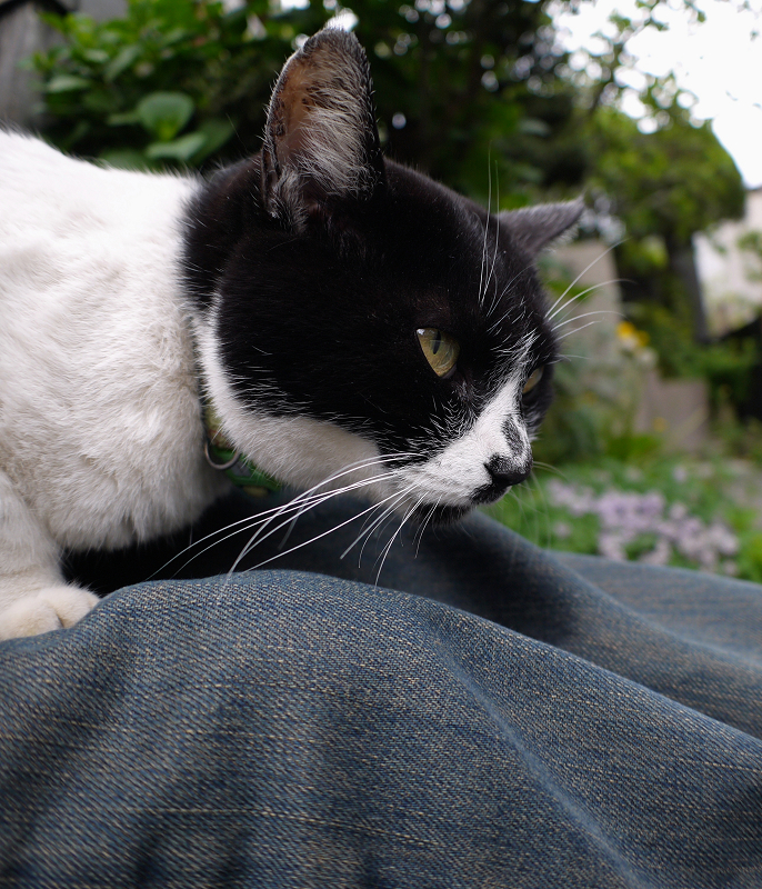 膝の上で寝てしまう白黒猫2