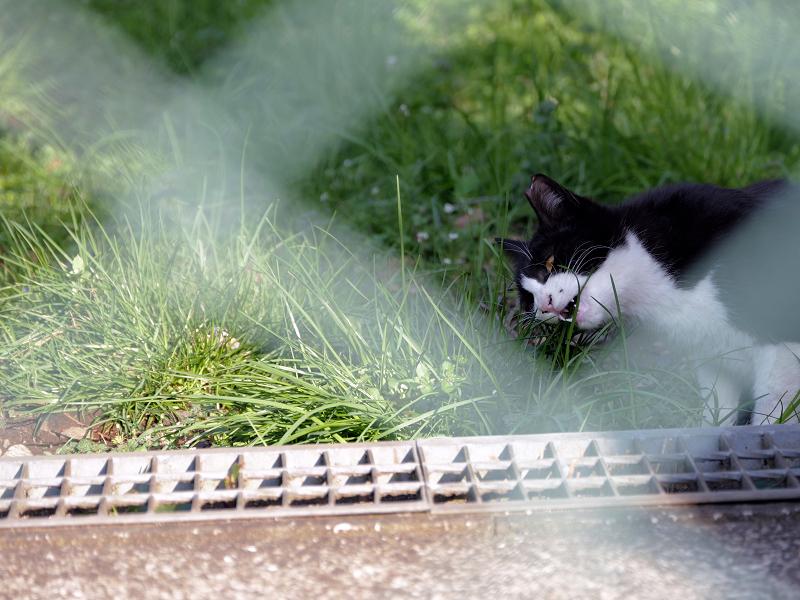 金網の向こうで草を食う黒白猫1