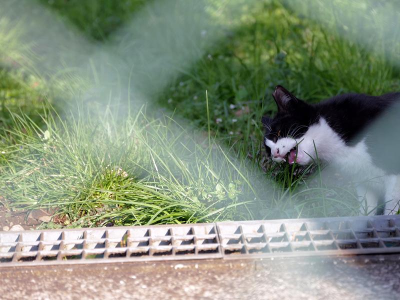 金網の向こうで草を食う黒白猫2