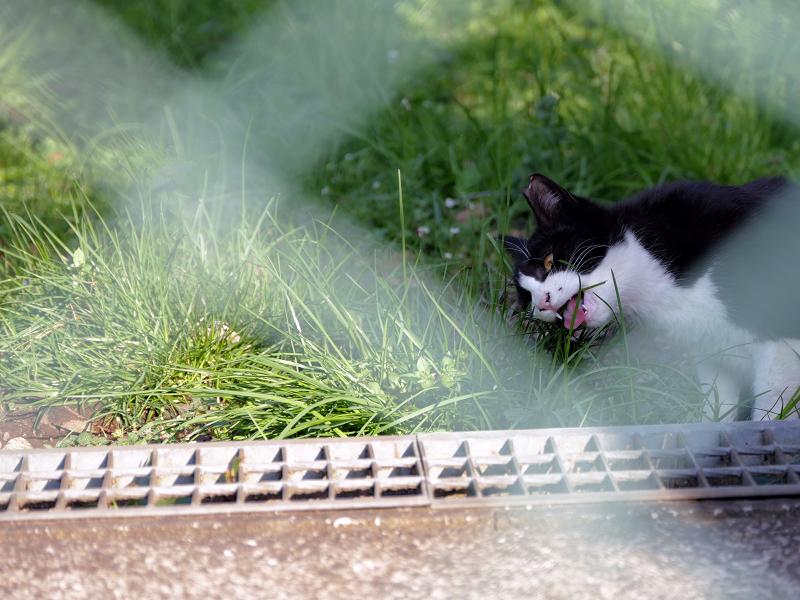 金網の向こうで草を食う黒白猫3