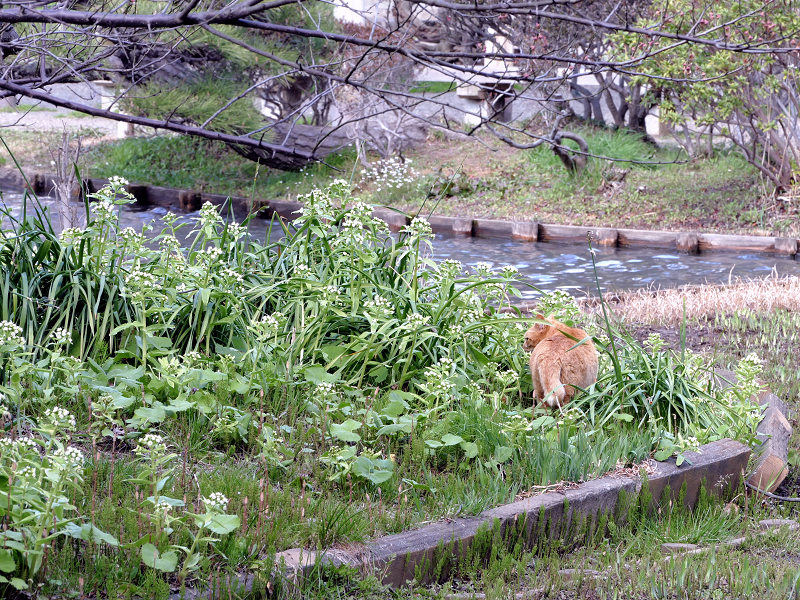 公園の池のそばの茶トラ猫1