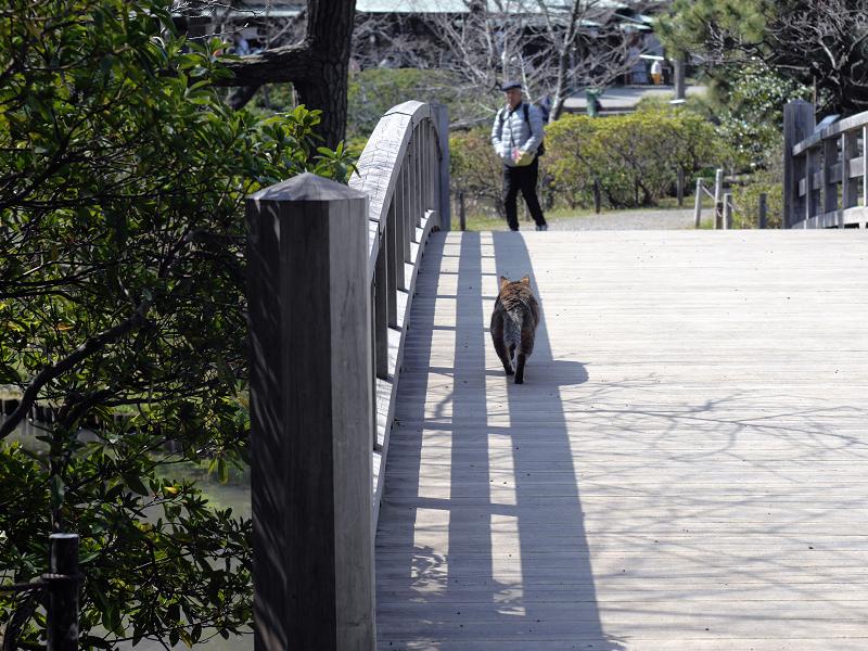 橋の端を歩くキジトラ猫1
