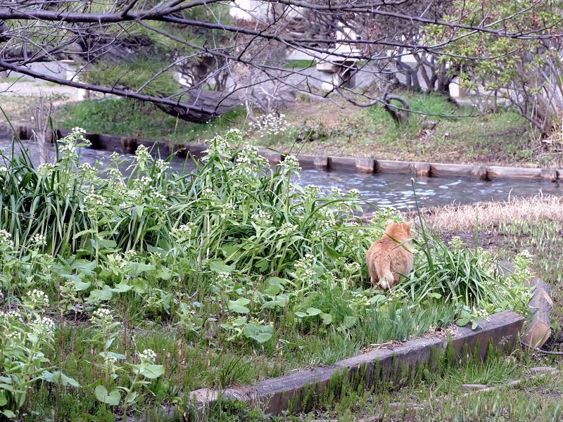 公園の池のそばの茶トラ猫3