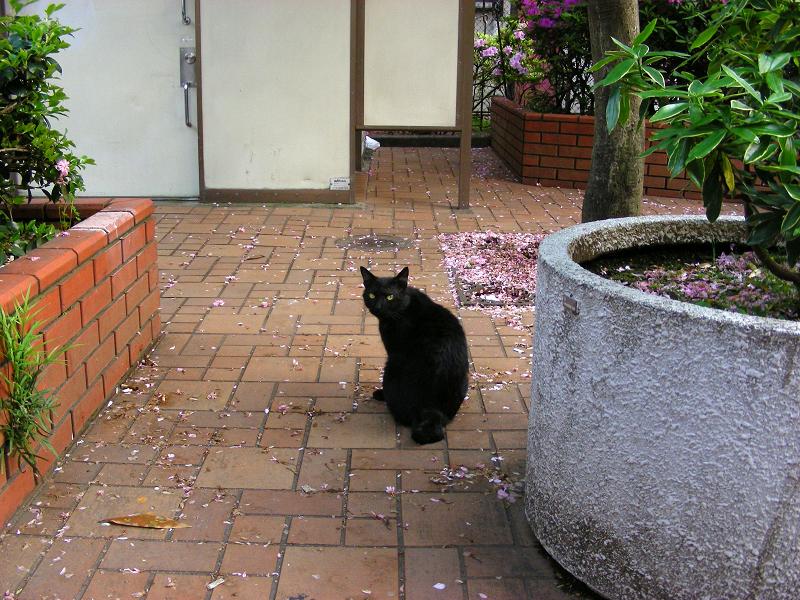 花散る公園の黒猫1