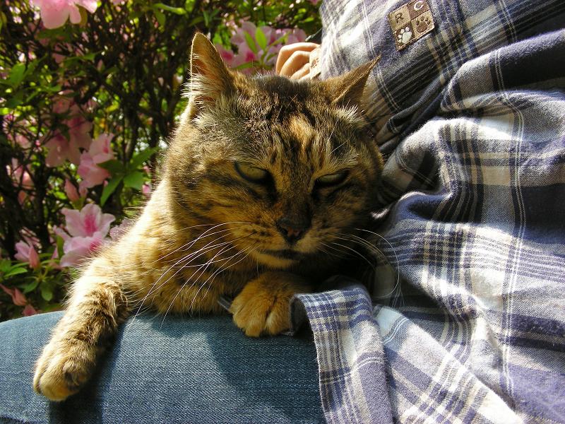 膝で寛いだサビ柄猫2
