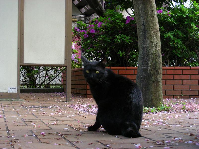 花散る公園の黒猫2