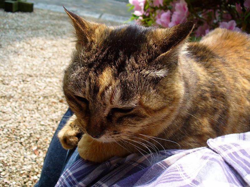 膝で寛いだサビ柄猫3