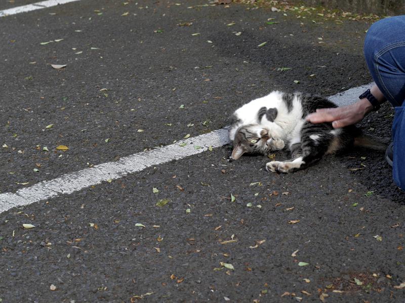 駐車場で転がってるキジ白猫1