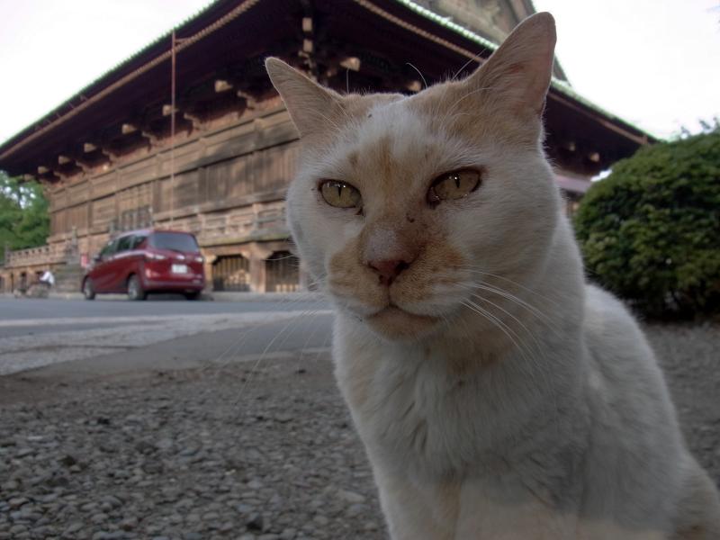 無表情風の白茶猫2