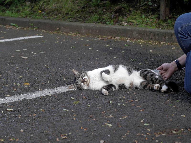 駐車場で転がってるキジ白猫4