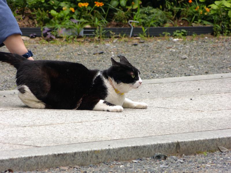 参道で腰をトントンされる黒白猫3