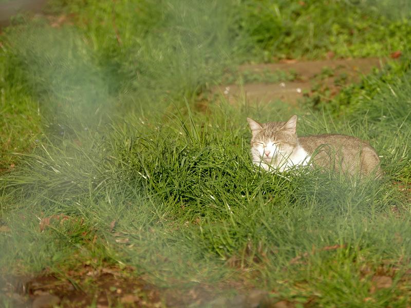 草むら日光浴猫