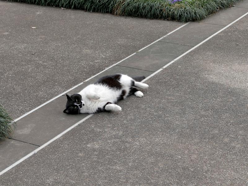 公園で転がってる黒白猫1
