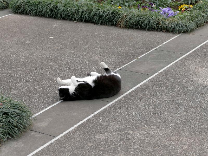 公園で転がってる黒白猫2