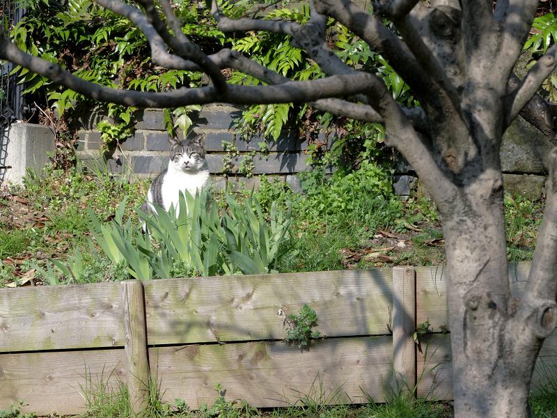 公園草むらのキジ白猫2