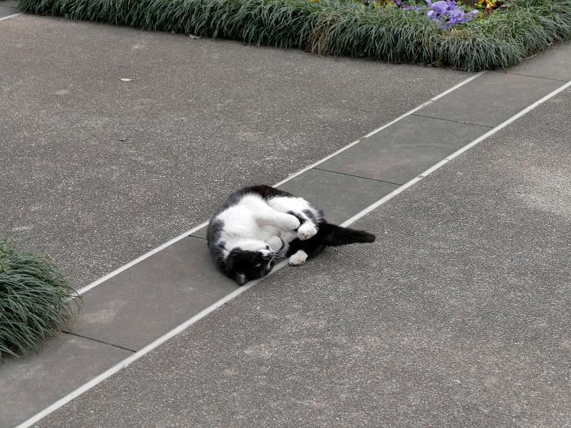 公園で転がってる黒白猫3