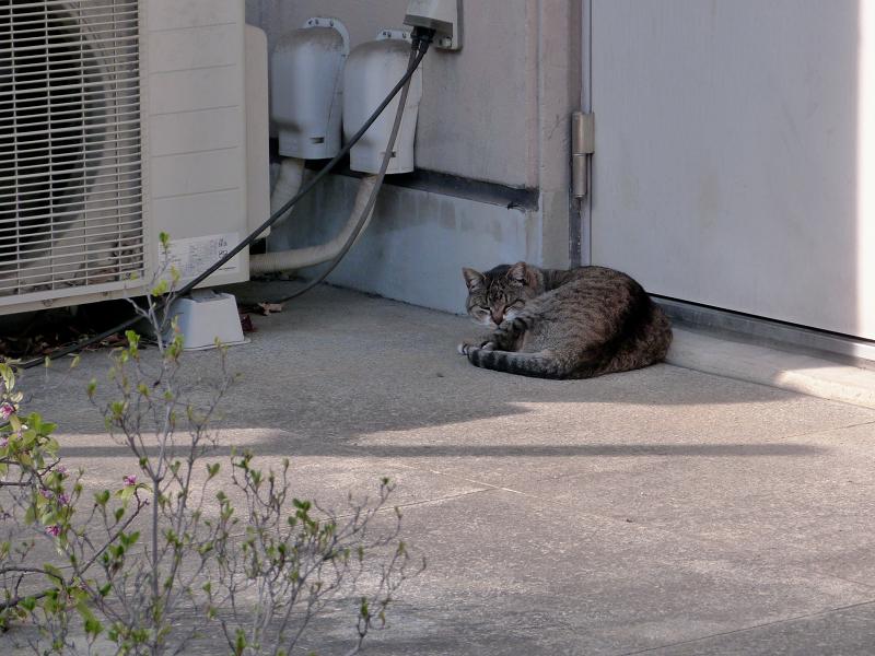 社務所の横で寝ている猫