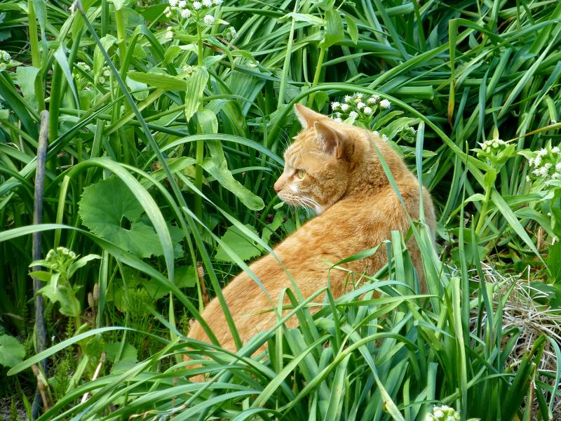 草むらで背後を気にする茶トラ猫1
