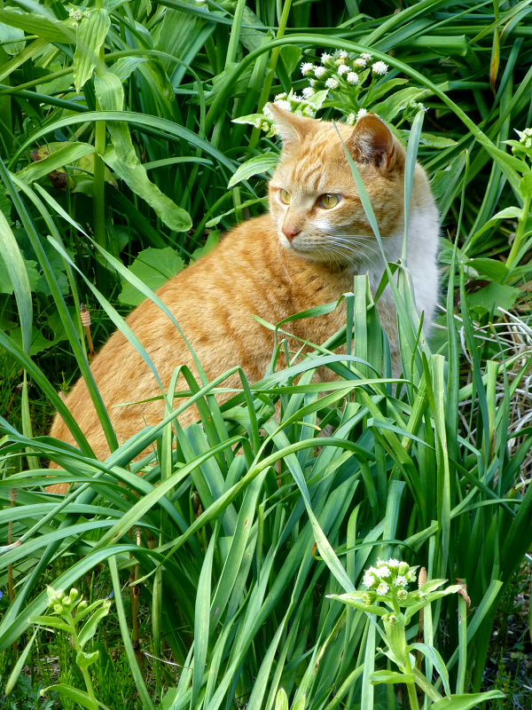 草むらで背後を気にする茶トラ猫2