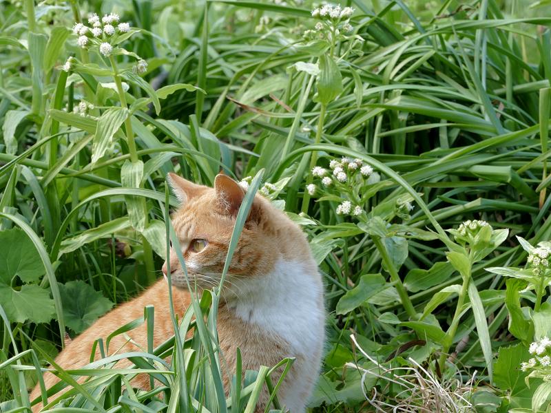 草むらで背後を気にする茶トラ猫3