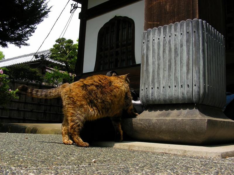 カメラバッグに興味を示すサビ柄猫1