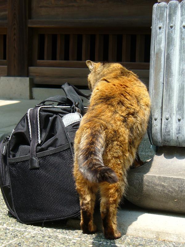 カメラバッグに興味を示すサビ柄猫2