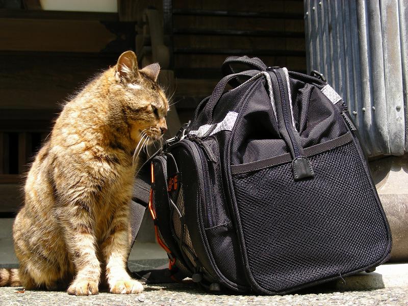 カメラバッグに興味を示すサビ柄猫3