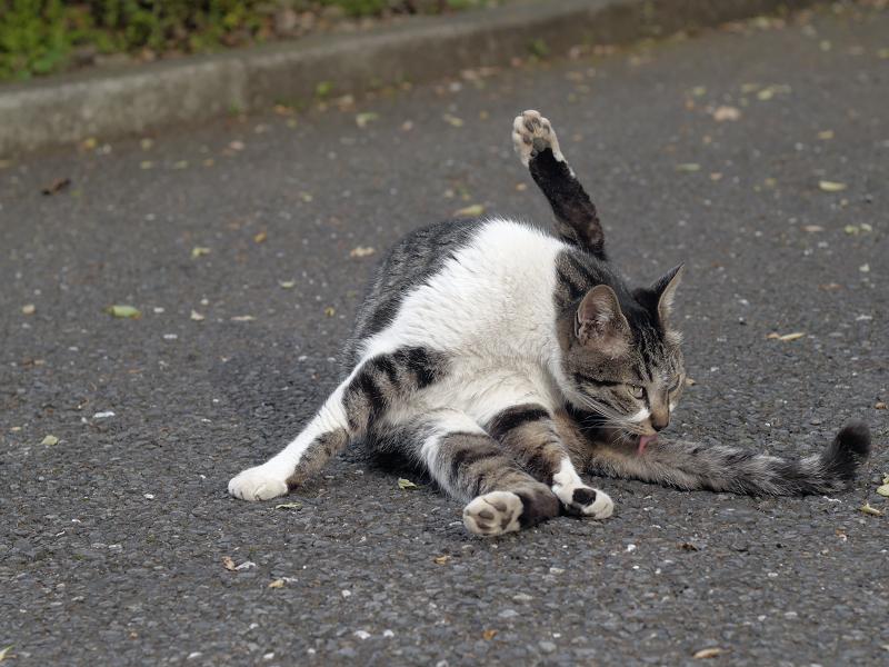 足上げ毛づくろいキジ白猫1